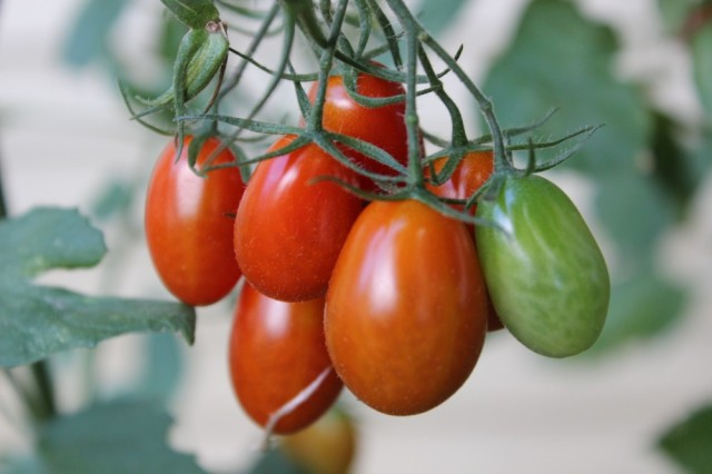 Grape Tomatoes | Midwestern Musing